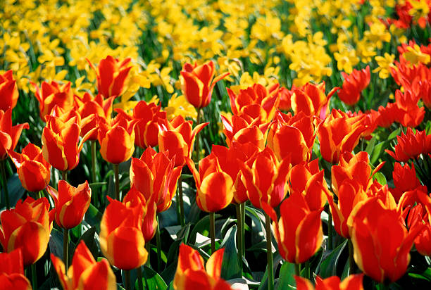 Densely Planted Red and Gold Tulips:スマホ壁紙(壁紙.com)