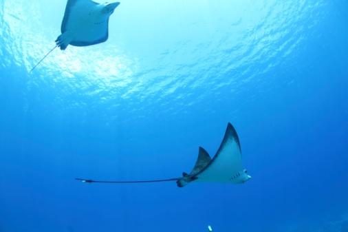 Northern Mariana Islands「Rays swimming, Saipan, Northern Mariana Islands」:スマホ壁紙(8)