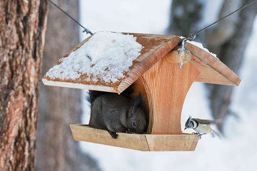 リス「Dark eurasian red sqirrel and a crested tit at a birdhouse」:スマホ壁紙(8)