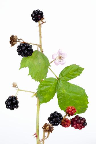 Blackberry - Fruit「Blackberries on branch.」:スマホ壁紙(14)
