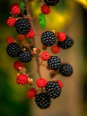 Blackberry - Fruit「Blackberries on the stem」:スマホ壁紙(18)