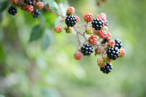 Blackberry - Fruit「Blackberries growing in countryside.」:スマホ壁紙(17)