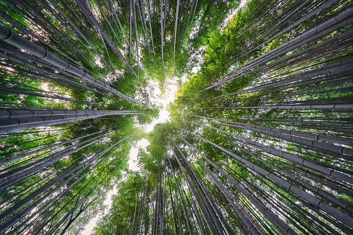 Grove「Arashiyama Bamboo Forest Against The Sky Kyoto Japan」:スマホ壁紙(10)