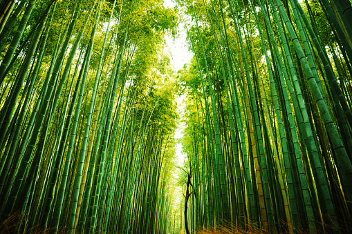 Kyoto City「Arashiyama Bamboo Forest in Kyoto, Japan」:スマホ壁紙(13)