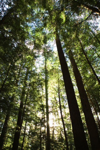 Adirondack Mountains「Towering trees in forest」:スマホ壁紙(6)