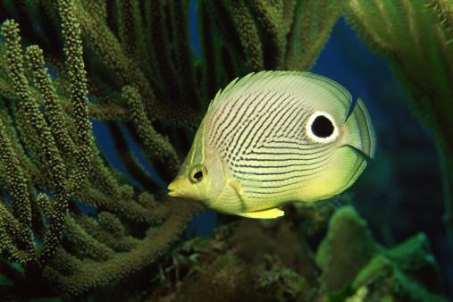 Butterflyfish「Foureye butterflyfish」:スマホ壁紙(7)