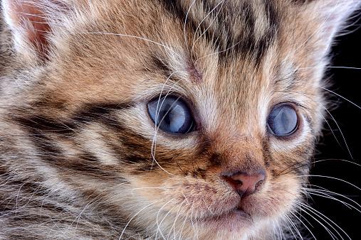 Iris - Eye「Face of tabby kitten, Felis Silvestris Catus, with blue eyes」:スマホ壁紙(12)