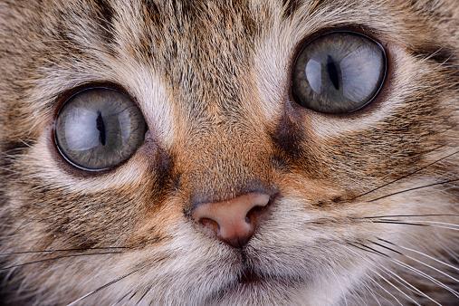 Iris - Eye「Face of tabby cat」:スマホ壁紙(3)