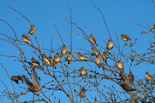 Cedar Waxwing「Flock of Cedar waxwing birds perched on top branches of tree.」:スマホ壁紙(10)