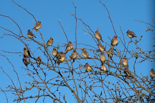 Cedar Waxwing「Flock of Cedar waxwing birds perched on top branches of tree.」:スマホ壁紙(8)
