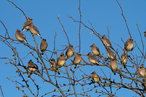 Cedar Waxwing「Flock of Cedar waxwing birds perched on top branches of tree.」:スマホ壁紙(9)