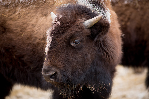 Teenager「Young American Bison Grazing in the Winter.」:スマホ壁紙(1)
