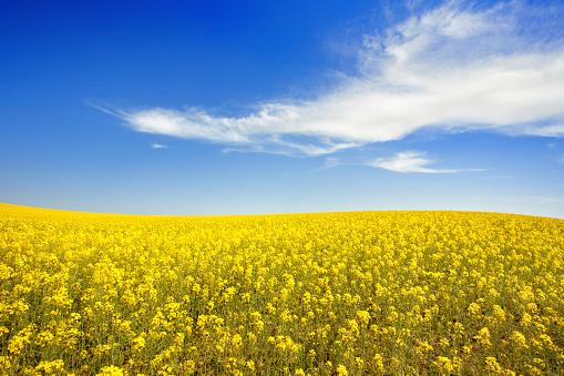 Canola「Yellow field and sky」:スマホ壁紙(17)