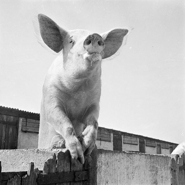 Fred Morley「Nosey Piggy」:写真・画像(10)[壁紙.com]
