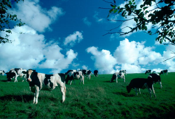 Quadrupedalism「Friesian Cows, Cornwall, UK」:写真・画像(16)[壁紙.com]