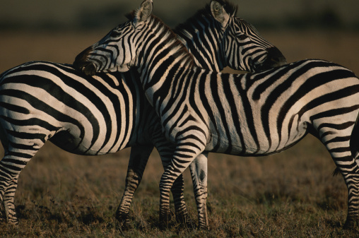 Grooming - Animal Behavior「Two common zebras (Equus burchelli) grooming, Masai Mara N.R, Kenya」:スマホ壁紙(9)