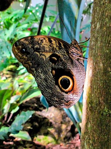 虫・昆虫「Forest Giant Owl butterfly on tree in the forest」:スマホ壁紙(5)
