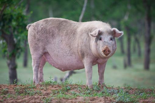 Domestic Pig「Domestic pig」:スマホ壁紙(17)