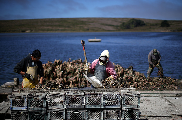 Mollusk「Oyster Farm On Point Reyes Nat'l Seashore Loses Court Appeal To Stay Open」:写真・画像(12)[壁紙.com]