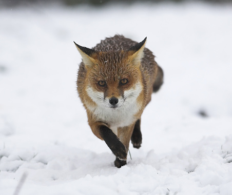 Animals Hunting「Fox running in the snow」:スマホ壁紙(7)