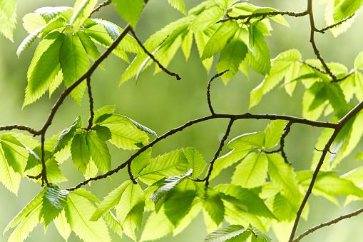 栗「Sweet Chestnut Tree」:スマホ壁紙(17)