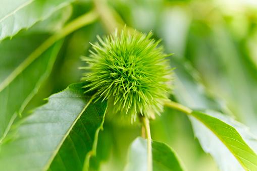 栗「Sweet Chestnut Growing in Tree」:スマホ壁紙(9)