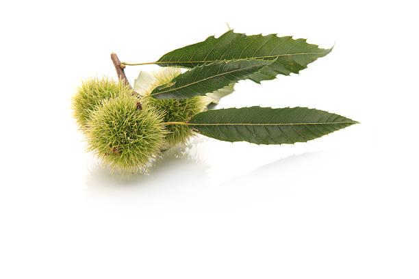 Sweet chestnut XXXL:スマホ壁紙(壁紙.com)