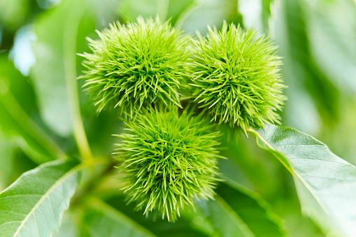 栗「Sweet Chestnuts Growing in Tree」:スマホ壁紙(8)