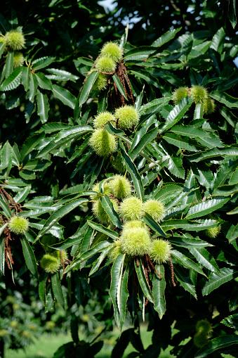 chestnut「Sweet chestnuts on tree」:スマホ壁紙(1)