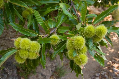 chestnut「Sweet chestnut (Castanea sativa) in Cevennes near Saint-Martial.」:スマホ壁紙(7)