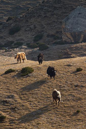 Khumbu「Yaks in Nepal Himalayas」:スマホ壁紙(19)
