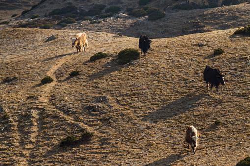 Khumbu「Yaks in Nepal Himalayas」:スマホ壁紙(4)
