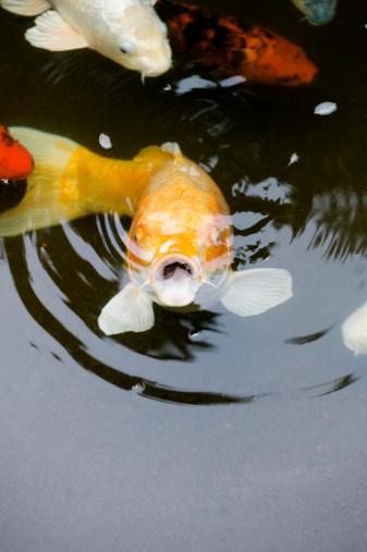 Carp「Koi in pond, Japanese garden, Oregon, USA」:スマホ壁紙(6)