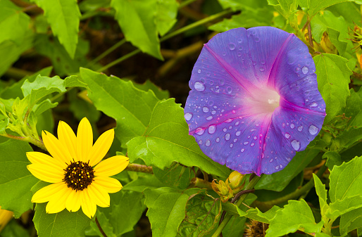 朝顔「Railroad Vice or Morning Glory (Ipomoea pes-caprae)」:スマホ壁紙(16)