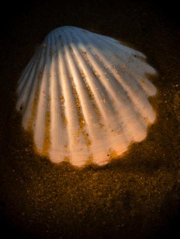 貝殻「Scallop shell」:スマホ壁紙(18)