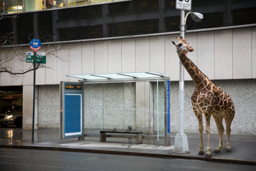 Animal Wildlife「Giraffe waiting at bus stop」:スマホ壁紙(6)