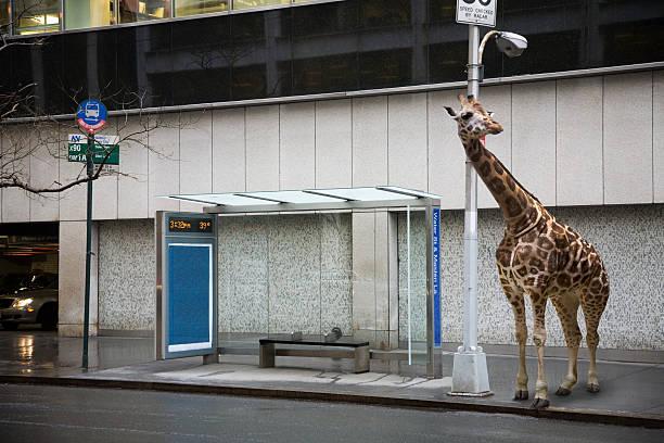 Giraffe waiting at bus stop:スマホ壁紙(壁紙.com)