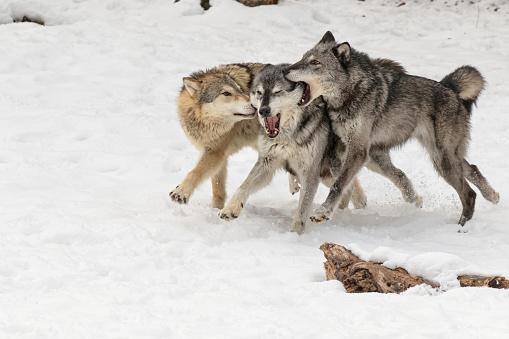 狼「Gray Wolfs or Timber Wolfs (Canis lupus) playing in winter, Montana, USA」:スマホ壁紙(3)