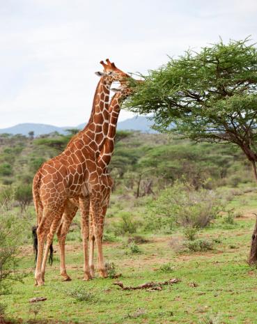 Giraffe「Giraffes eating from acacia trees in Samburu Kenya, East Africa.」:スマホ壁紙(0)