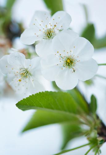 桜「Tart Cherry Tree in Bloom. Cherry Blossom」:スマホ壁紙(10)