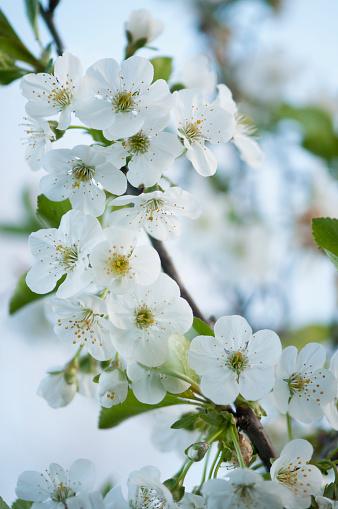桜「Tart Cherry Tree in Bloom. Cherry Blossom」:スマホ壁紙(11)