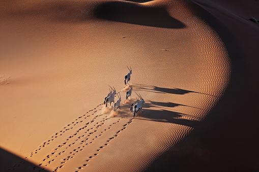 Namib-Naukluft National Park「Gemsbok herd running in the desert」:スマホ壁紙(16)