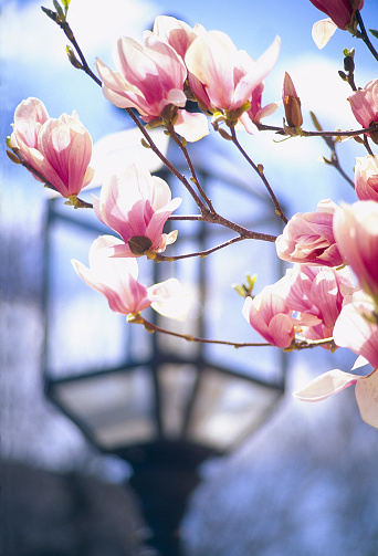 Gas Light「Pink Magnolia flowers in the foreground - a antique gas street light in soft focus in the background - part of a series」:スマホ壁紙(5)