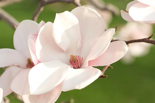 Magnolia「Pink Magnolia Blossoms」:スマホ壁紙(14)