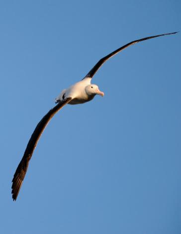Albatross「royal albatross in flight」:スマホ壁紙(3)