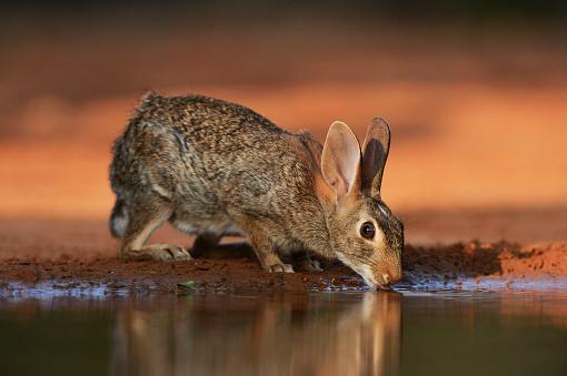 うさぎ「Eastern Cottontail (Sylvilagus Floridanus) drinking at pond, Texas, USA」:スマホ壁紙(3)