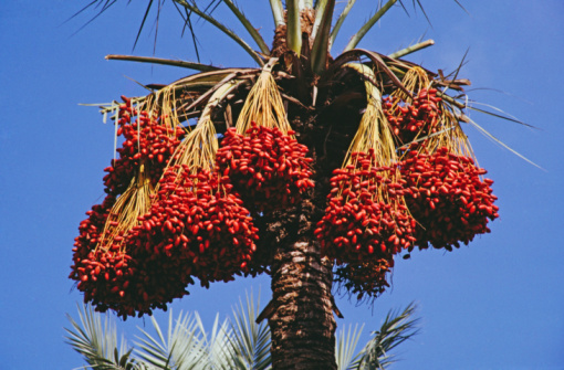 Gaza Strip「Dates on a palm tree」:スマホ壁紙(12)
