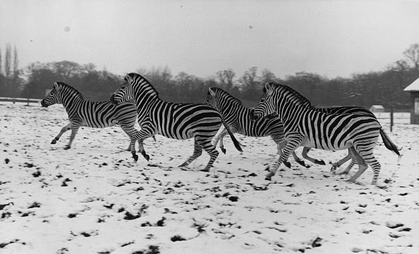 Agricultural Field「Zebras In The Snow」:写真・画像(13)[壁紙.com]