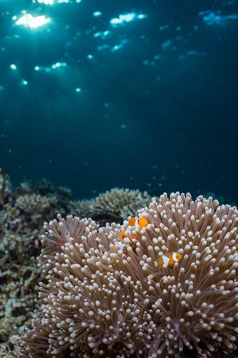 カクレクマノミ「Rays from the setting sun shining on an anemone with a pair of clownfish.」:スマホ壁紙(8)