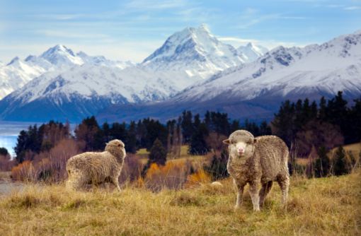 Mt Cook「Sheep grazing. Mount Cook and the Southern Alps 」:スマホ壁紙(12)